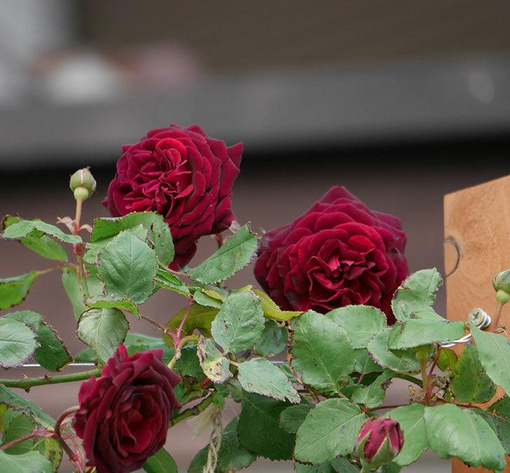 アンプルール・デュ・マロック(ツルバラ)の花が咲いた。2019年-12.jpg