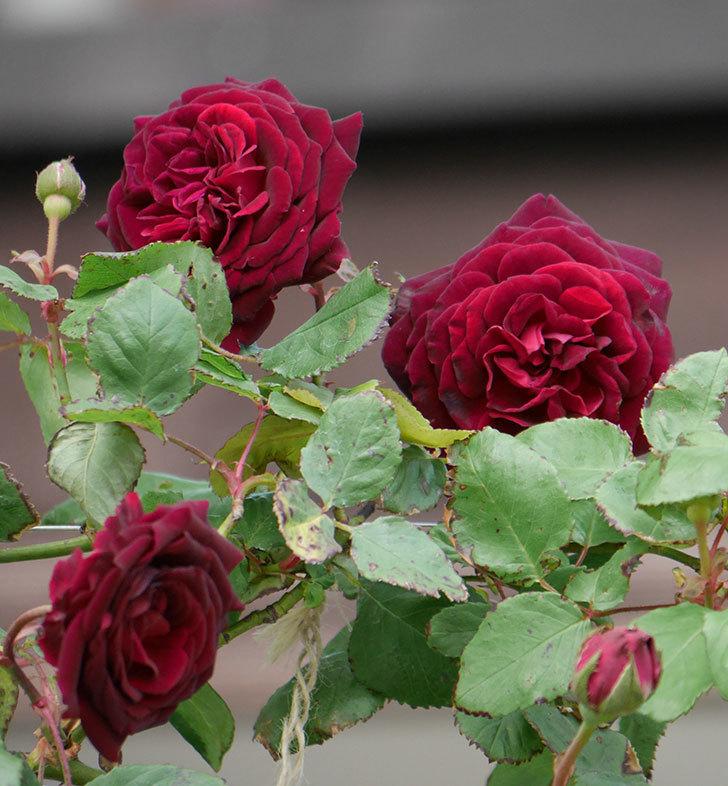 アンプルール・デュ・マロック(ツルバラ)の花が咲いた。2019年-13.jpg