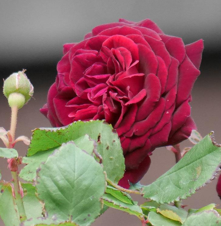 アンプルール・デュ・マロック(ツルバラ)の花が咲いた。2019年-14.jpg
