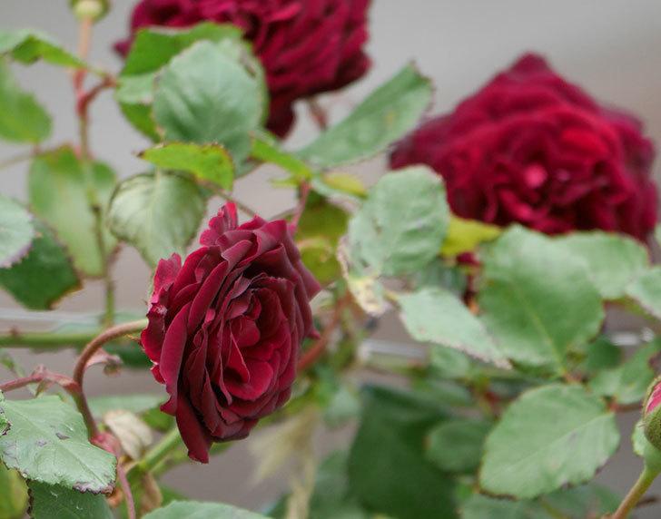 アンプルール・デュ・マロック(ツルバラ)の花が咲いた。2019年-2.jpg