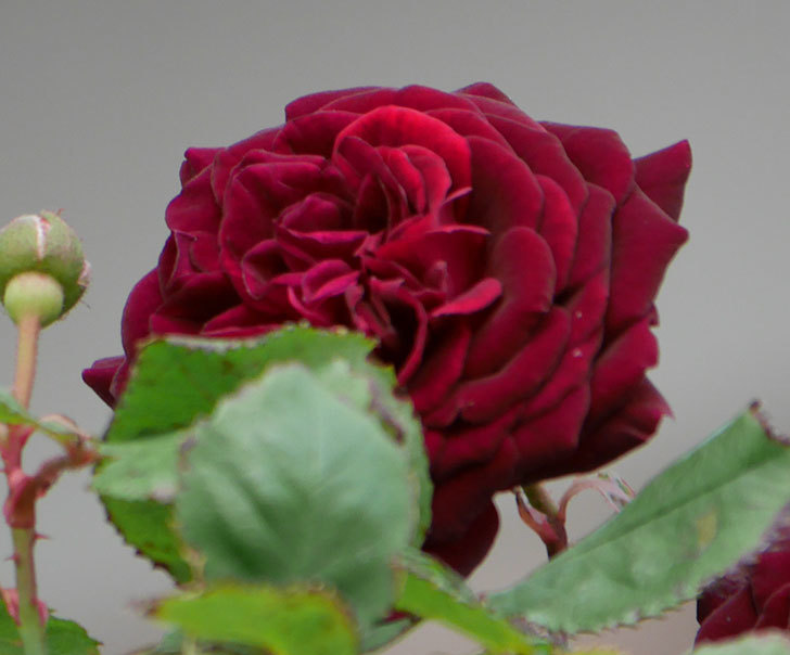 アンプルール・デュ・マロック(ツルバラ)の花が咲いた。2019年-4.jpg