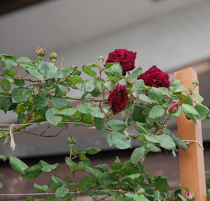 アンプルール・デュ・マロック(ツルバラ)の花が咲いた。2019年-5.jpg