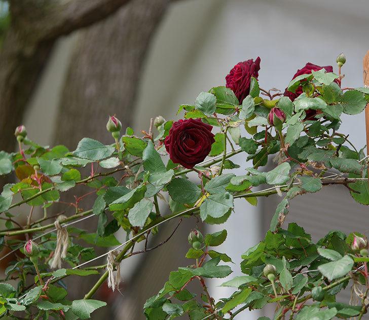 アンプルール・デュ・マロック(ツルバラ)の花が咲いた。2019年-7.jpg