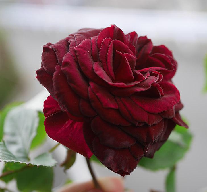 アンプルール・デュ・マロック(ツルバラ)の花が咲いた。2020年-1.jpg