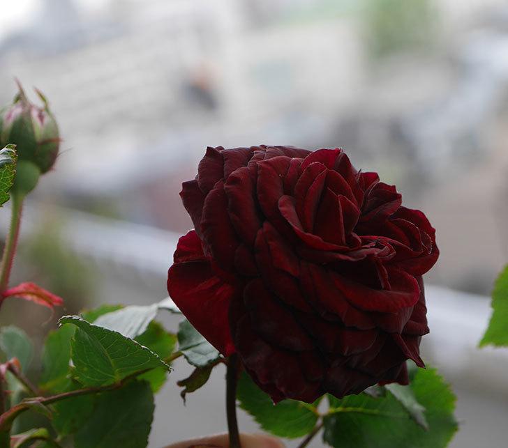アンプルール・デュ・マロック(ツルバラ)の花が咲いた。2020年-2.jpg