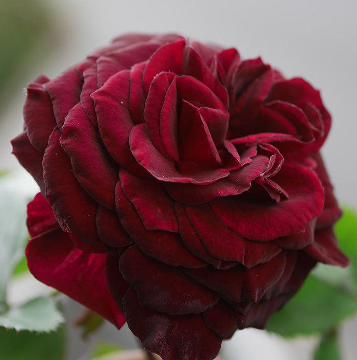 アンプルール・デュ・マロック(ツルバラ)の花が咲いた。2020年-3.jpg