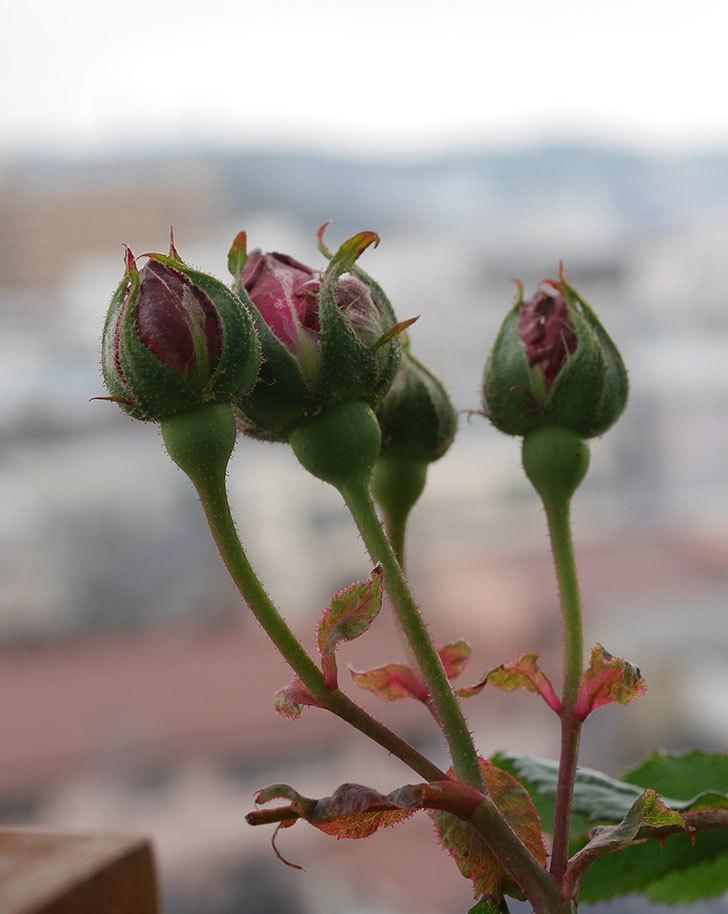 アンプルール・デュ・マロック(ツルバラ)の花が咲いた。2020年-4.jpg