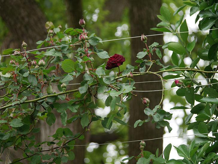アンプルール・デュ・マロック(ツルバラ)の花が咲いた。2020年-5.jpg
