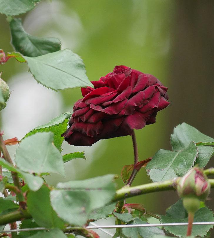 アンプルール・デュ・マロック(ツルバラ)の花が咲いた。2020年-6.jpg