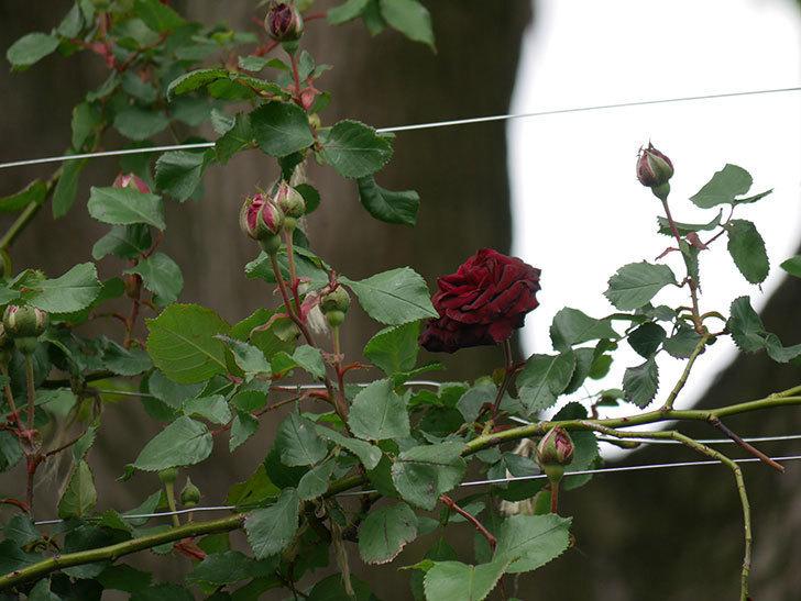 アンプルール・デュ・マロック(ツルバラ)の花が咲いた。2020年-8.jpg