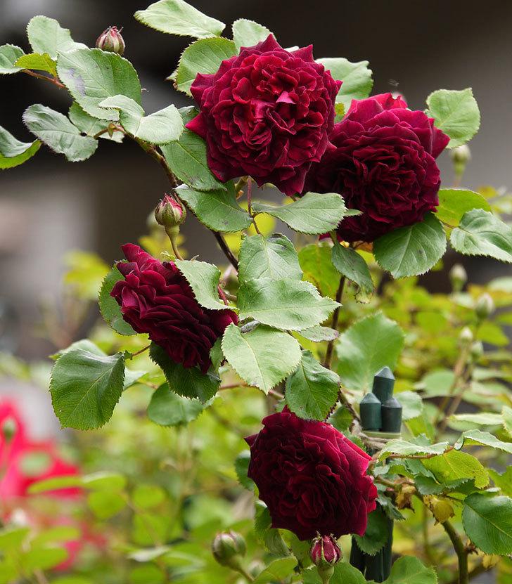 アンプルール・デュ・マロック(ツルバラ)の花が増えてきた。2017年-1.jpg