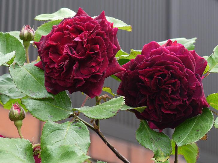 アンプルール・デュ・マロック(ツルバラ)の花が増えてきた。2017年-12.jpg