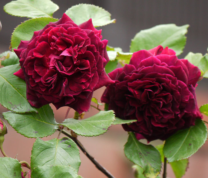 アンプルール・デュ・マロック(ツルバラ)の花が増えてきた。2017年-2.jpg