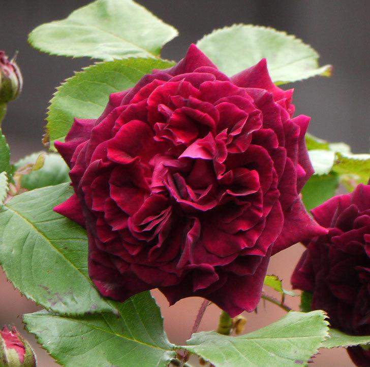 アンプルール・デュ・マロック(ツルバラ)の花が増えてきた。2017年-4.jpg
