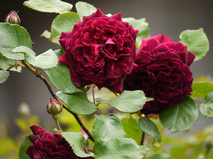 アンプルール・デュ・マロック(ツルバラ)の花が増えてきた。2017年-7.jpg