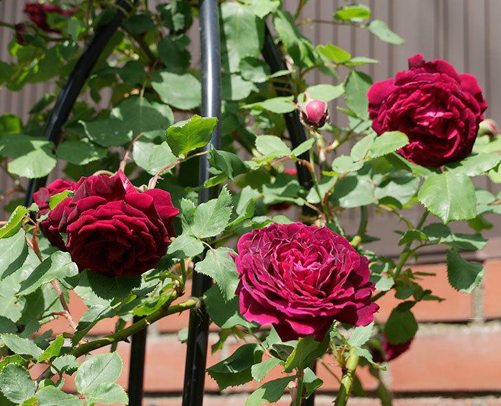 アンプルール・デュ・マロック(ツルバラ)の花が増えてきた。2018年-1.jpg