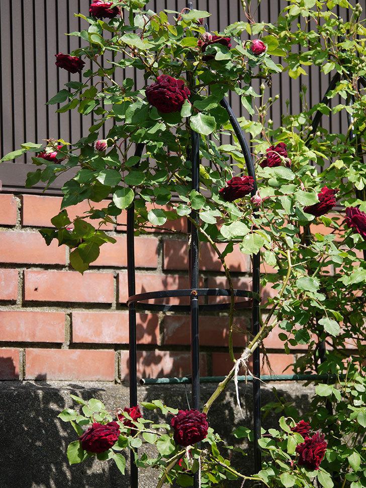 アンプルール・デュ・マロック(ツルバラ)の花が増えてきた。2018年-11.jpg