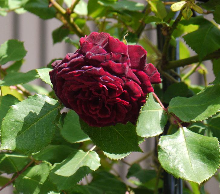 アンプルール・デュ・マロック(ツルバラ)の花が増えてきた。2018年-12.jpg