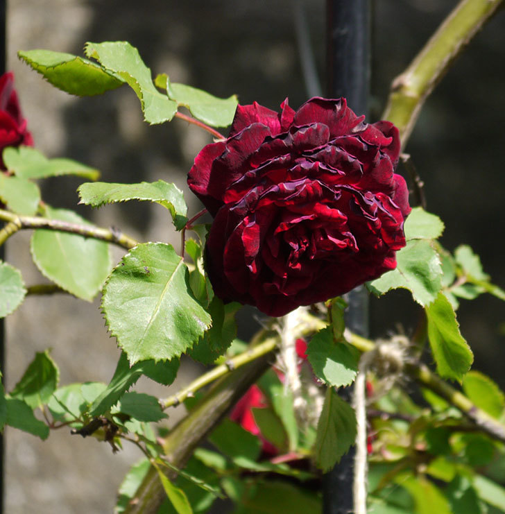 アンプルール・デュ・マロック(ツルバラ)の花が増えてきた。2018年-13.jpg