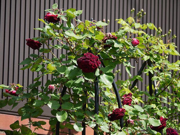 アンプルール・デュ・マロック(ツルバラ)の花が増えてきた。2018年-14.jpg