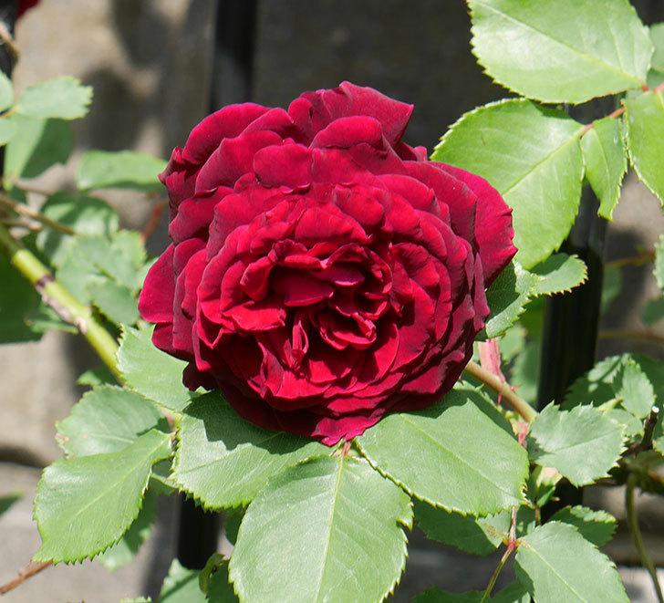 アンプルール・デュ・マロック(ツルバラ)の花が増えてきた。2018年-3.jpg