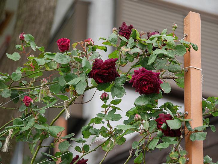 アンプルール・デュ・マロック(ツルバラ)の花が増えて来た。2019年-1.jpg