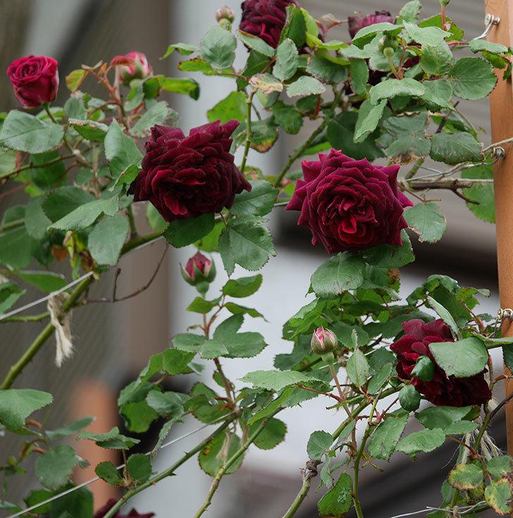 アンプルール・デュ・マロック(ツルバラ)の花が増えて来た。2019年-10.jpg