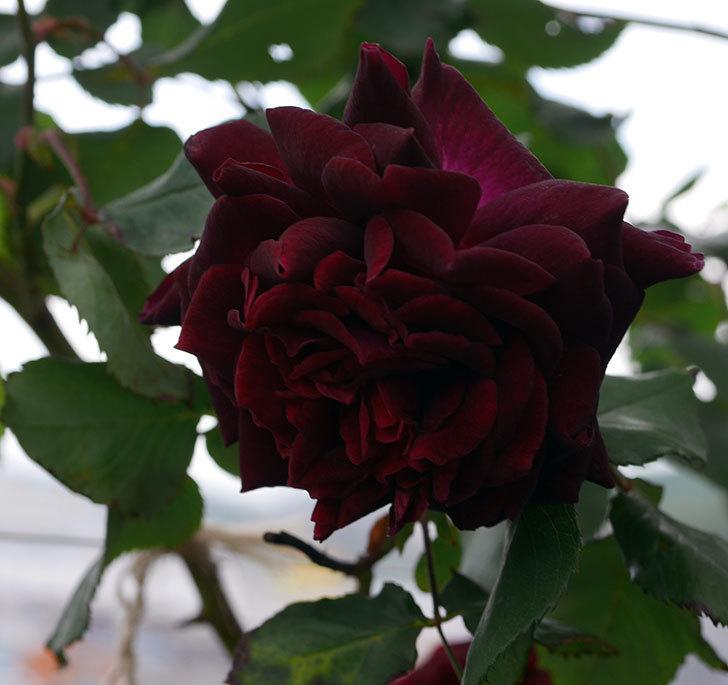 アンプルール・デュ・マロック(ツルバラ)の花が増えて来た。2019年-11.jpg