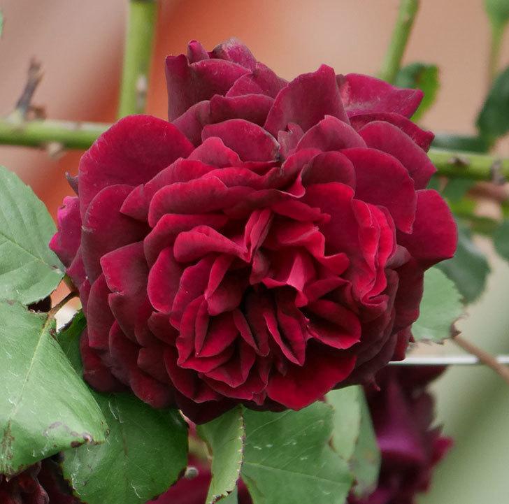 アンプルール・デュ・マロック(ツルバラ)の花が増えて来た。2019年-3.jpg
