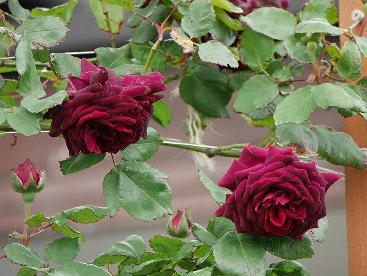 アンプルール・デュ・マロック(ツルバラ)の花が増えて来た。2019年-4.jpg