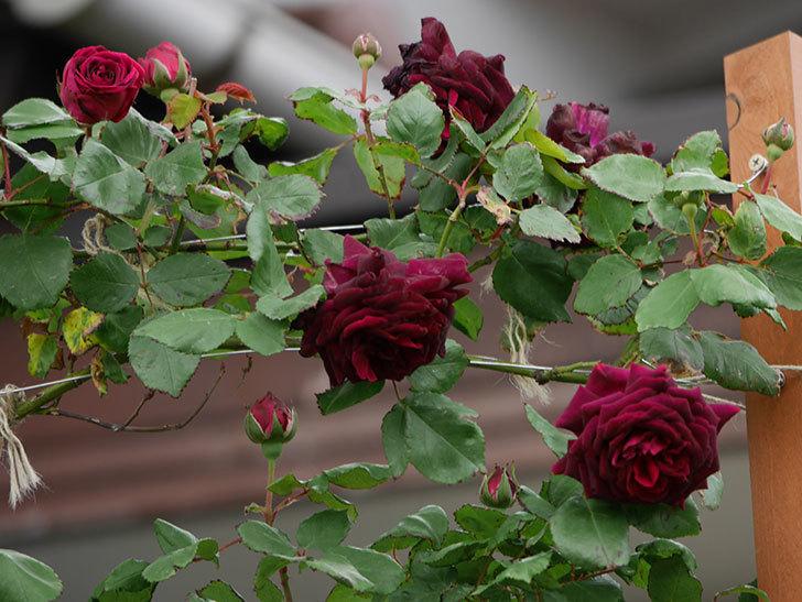 アンプルール・デュ・マロック(ツルバラ)の花が増えて来た。2019年-5.jpg