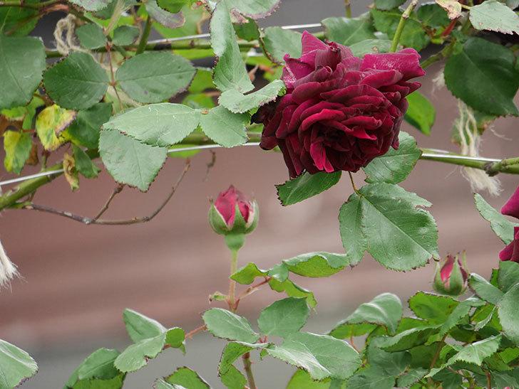 アンプルール・デュ・マロック(ツルバラ)の花が増えて来た。2019年-6.jpg