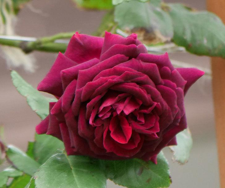 アンプルール・デュ・マロック(ツルバラ)の花が増えて来た。2019年-7.jpg