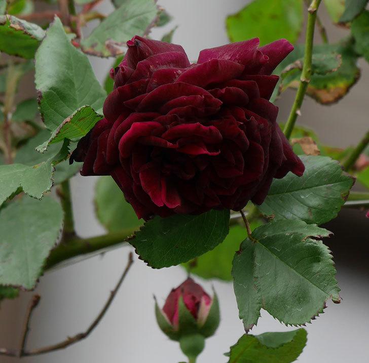 アンプルール・デュ・マロック(ツルバラ)の花が増えて来た。2019年-8.jpg