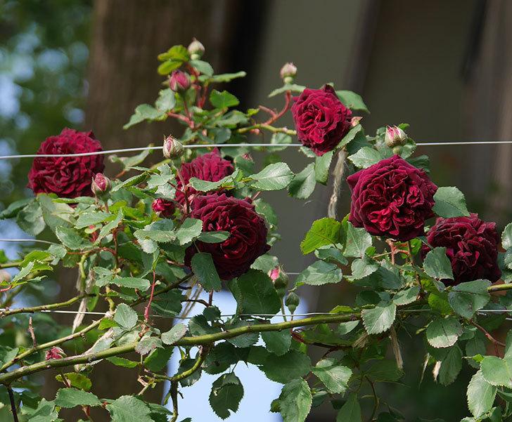 アンプルール・デュ・マロック(ツルバラ)の花が増えて来た。2020年-1.jpg