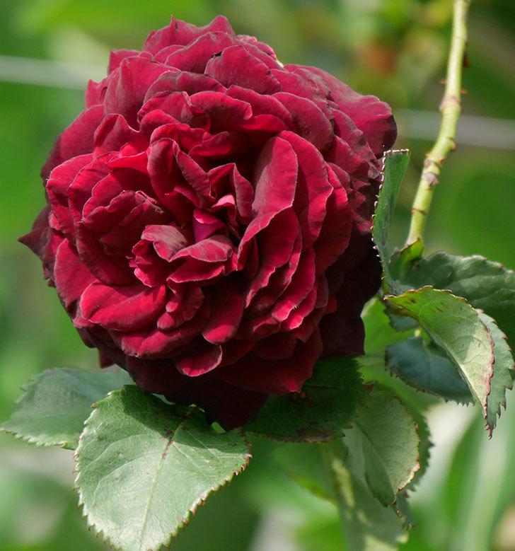 アンプルール・デュ・マロック(ツルバラ)の花が増えて来た。2020年-10.jpg