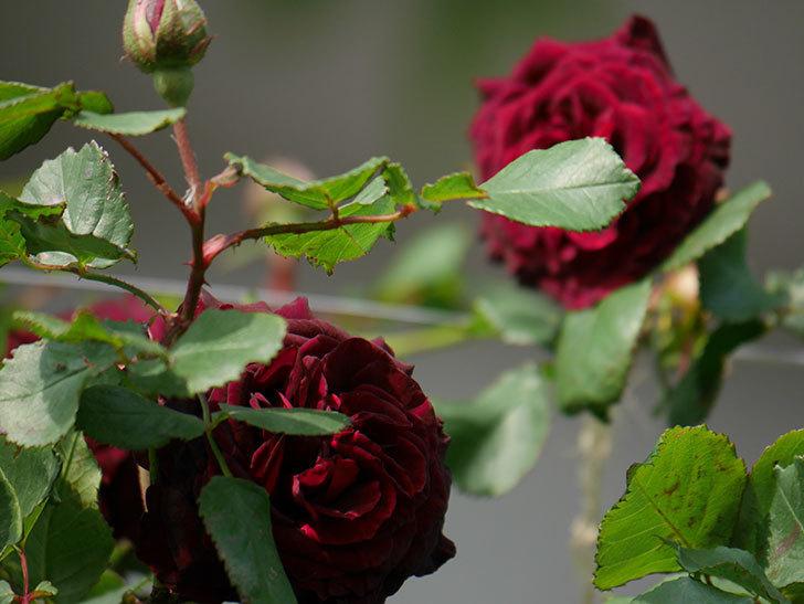 アンプルール・デュ・マロック(ツルバラ)の花が増えて来た。2020年-12.jpg