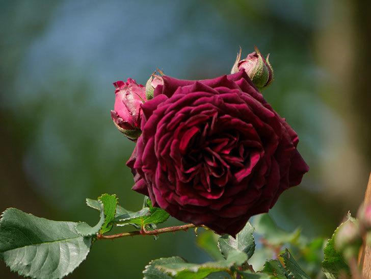 アンプルール・デュ・マロック(ツルバラ)の花が増えて来た。2020年-13.jpg