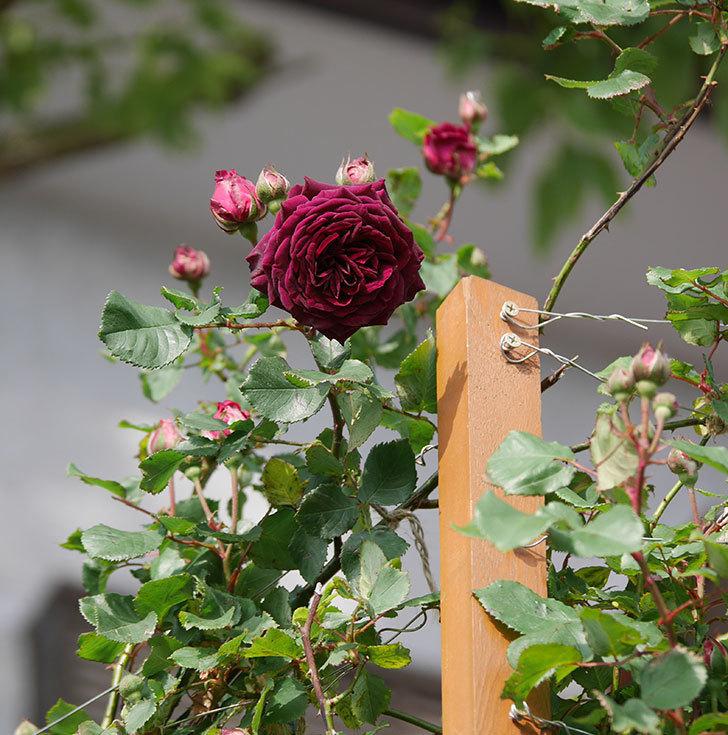 アンプルール・デュ・マロック(ツルバラ)の花が増えて来た。2020年-14.jpg
