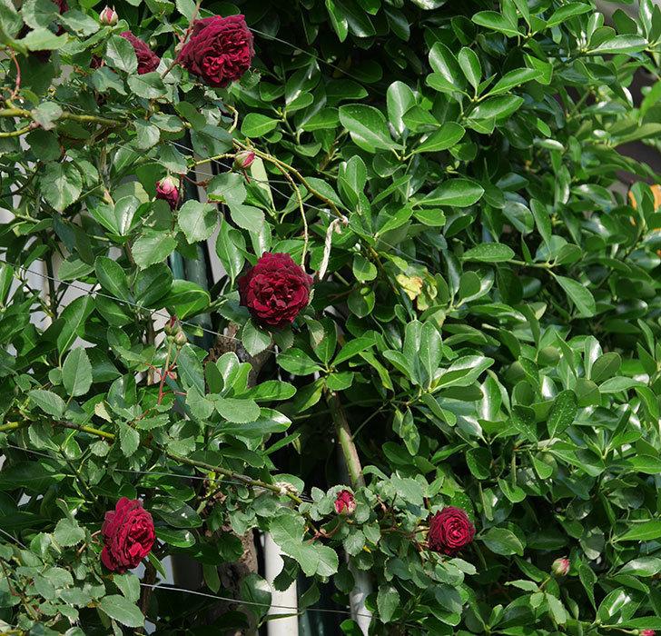 アンプルール・デュ・マロック(ツルバラ)の花が増えて来た。2020年-15.jpg