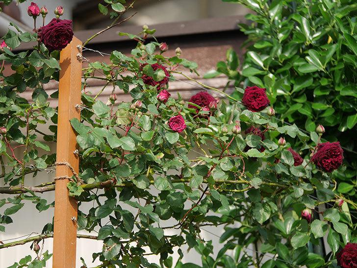 アンプルール・デュ・マロック(ツルバラ)の花が増えて来た。2020年-16.jpg