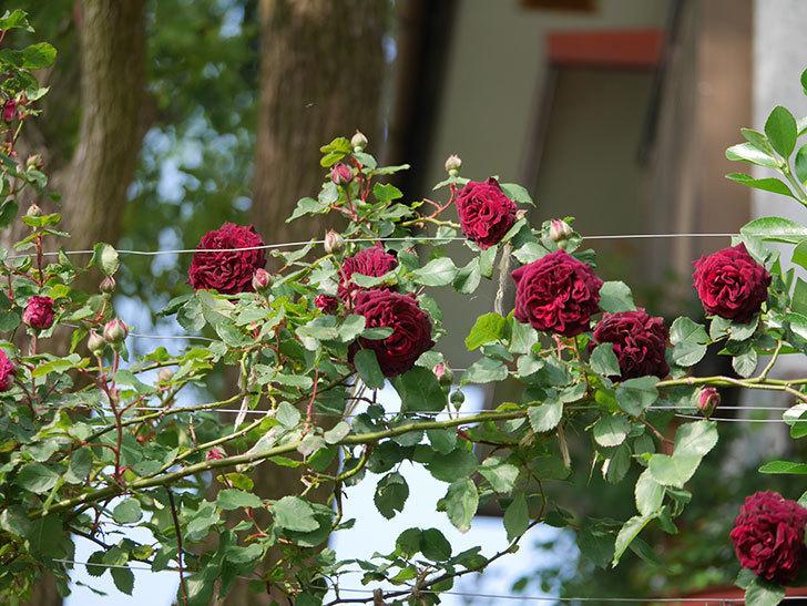 アンプルール・デュ・マロック(ツルバラ)の花が増えて来た。2020年-2.jpg