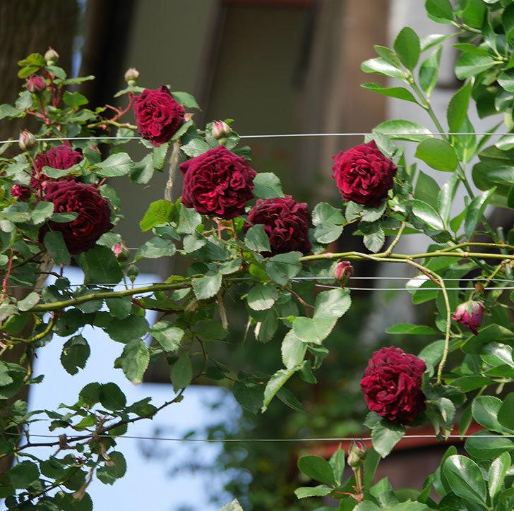 アンプルール・デュ・マロック(ツルバラ)の花が増えて来た。2020年-3.jpg