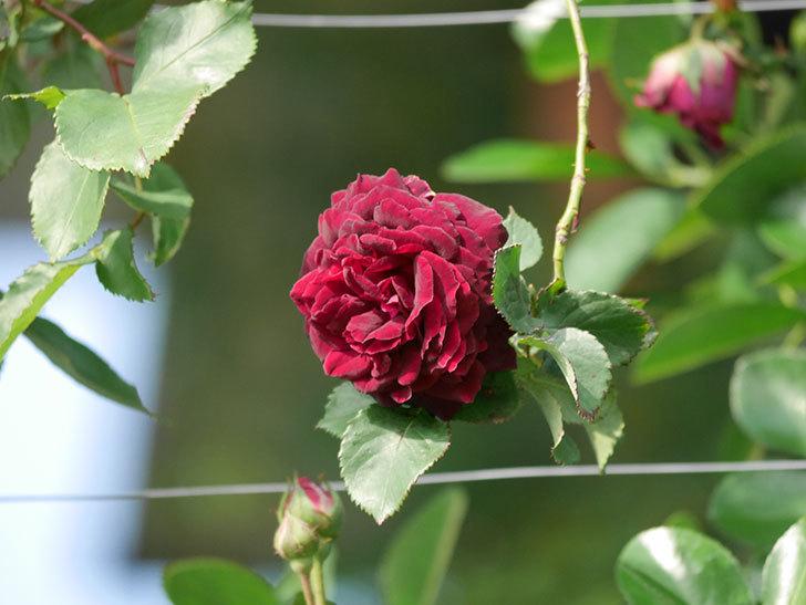 アンプルール・デュ・マロック(ツルバラ)の花が増えて来た。2020年-4.jpg