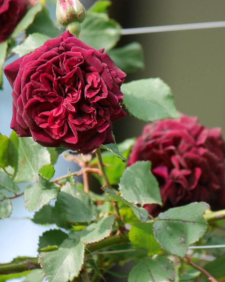 アンプルール・デュ・マロック(ツルバラ)の花が増えて来た。2020年-5.jpg