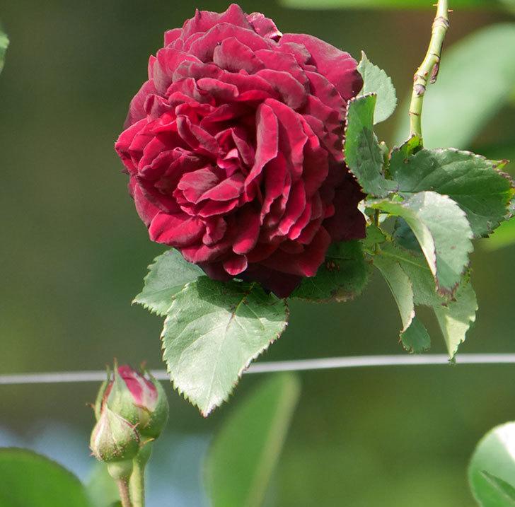 アンプルール・デュ・マロック(ツルバラ)の花が増えて来た。2020年-6.jpg