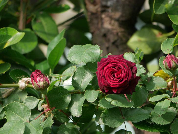 アンプルール・デュ・マロック(ツルバラ)の花が増えて来た。2020年-7.jpg