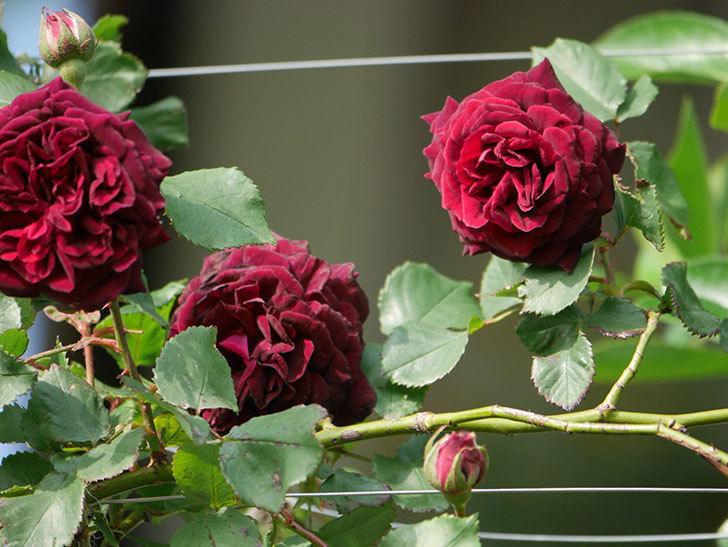 アンプルール・デュ・マロック(ツルバラ)の花が増えて来た。2020年-8.jpg
