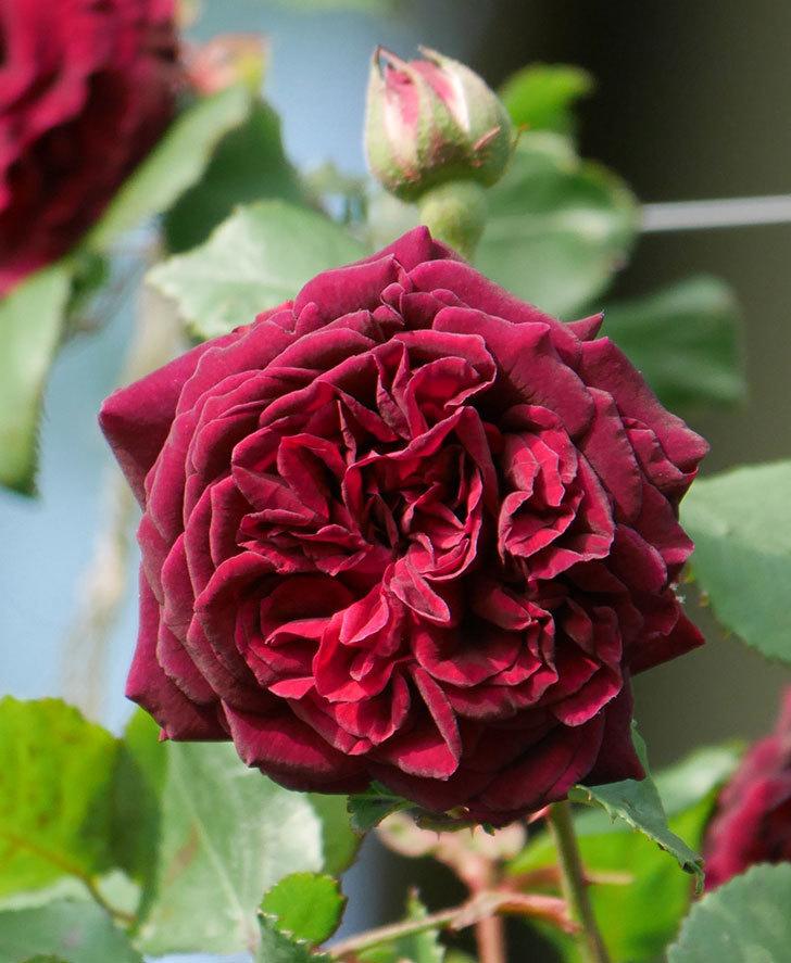アンプルール・デュ・マロック(ツルバラ)の花が増えて来た。2020年-9.jpg