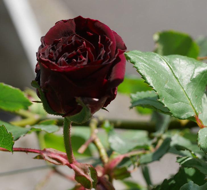 アンプルール・デュ・マロック(ツルバラ)の花が少し咲いた。2020年-1.jpg